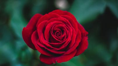 Les plus belles fleurs d'amour à offrir !