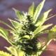 Le cbd, deuxième composant actif du cannabis